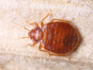 bed bug, bed bugs, bedbug, bedbugs, bed bug exterminator nyc, bed bug exterminator, nyc, organic bed bug, bed bug inspection, bed bug force, ny, li, bed bug treatment, bed bug preparation