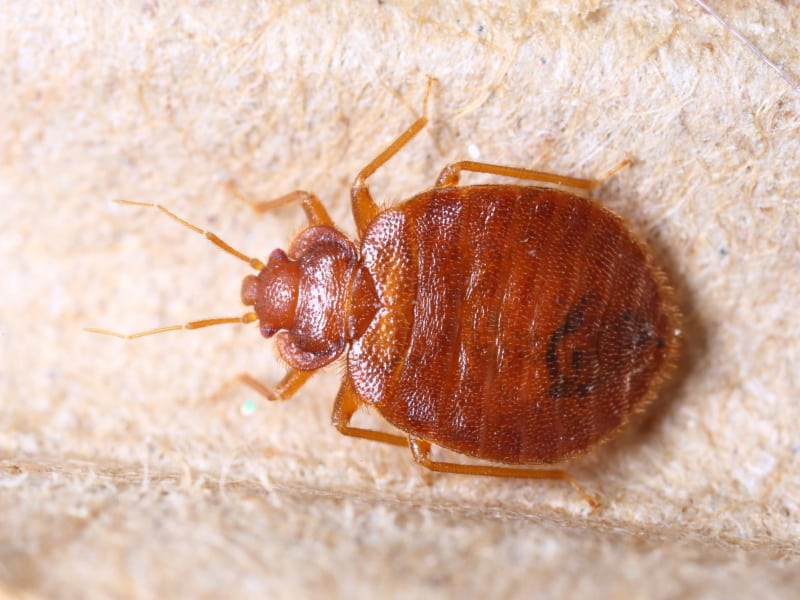 Bed Bug Preparation Nyc Services 24 7 Bed Bug Exterminator Nyc